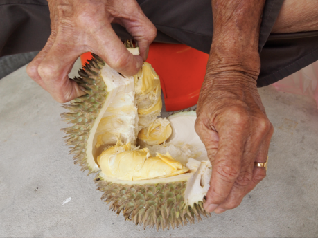Grandpa opening a durian from Balik Pulau, Penang
